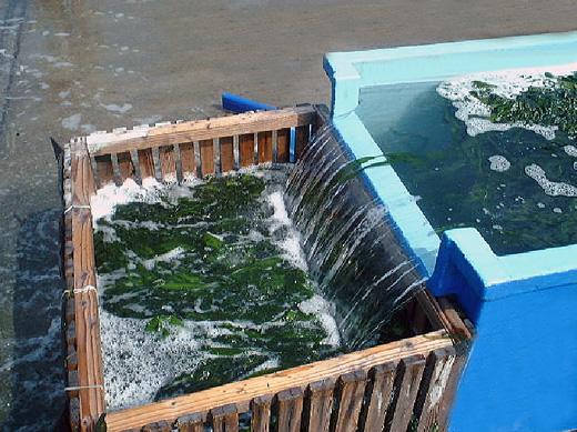 ほど良く湯掻いた鳴門わかめを海水で冷やします。